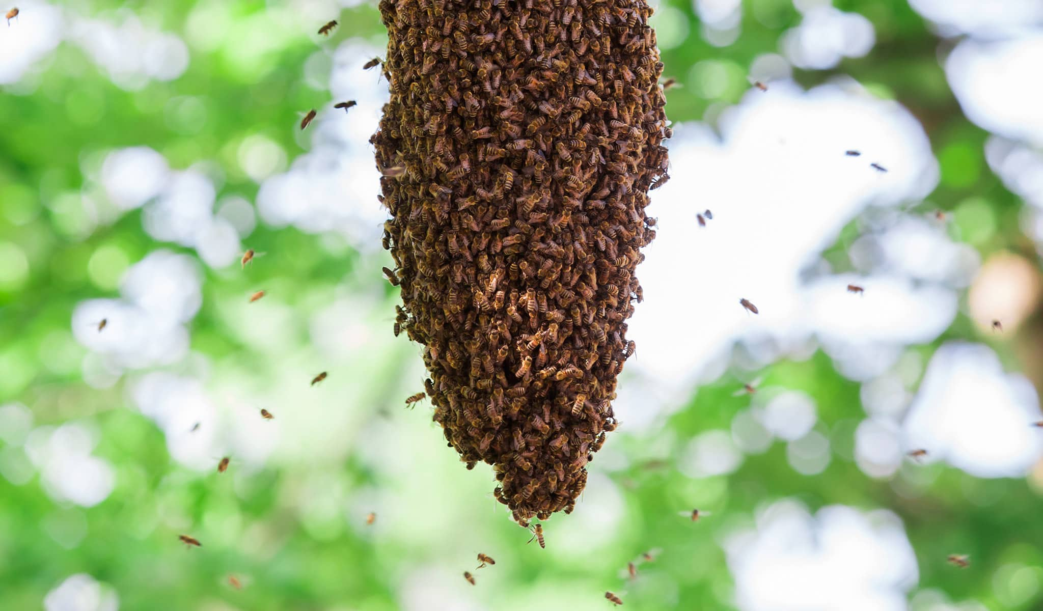 Bees swarming around a hive