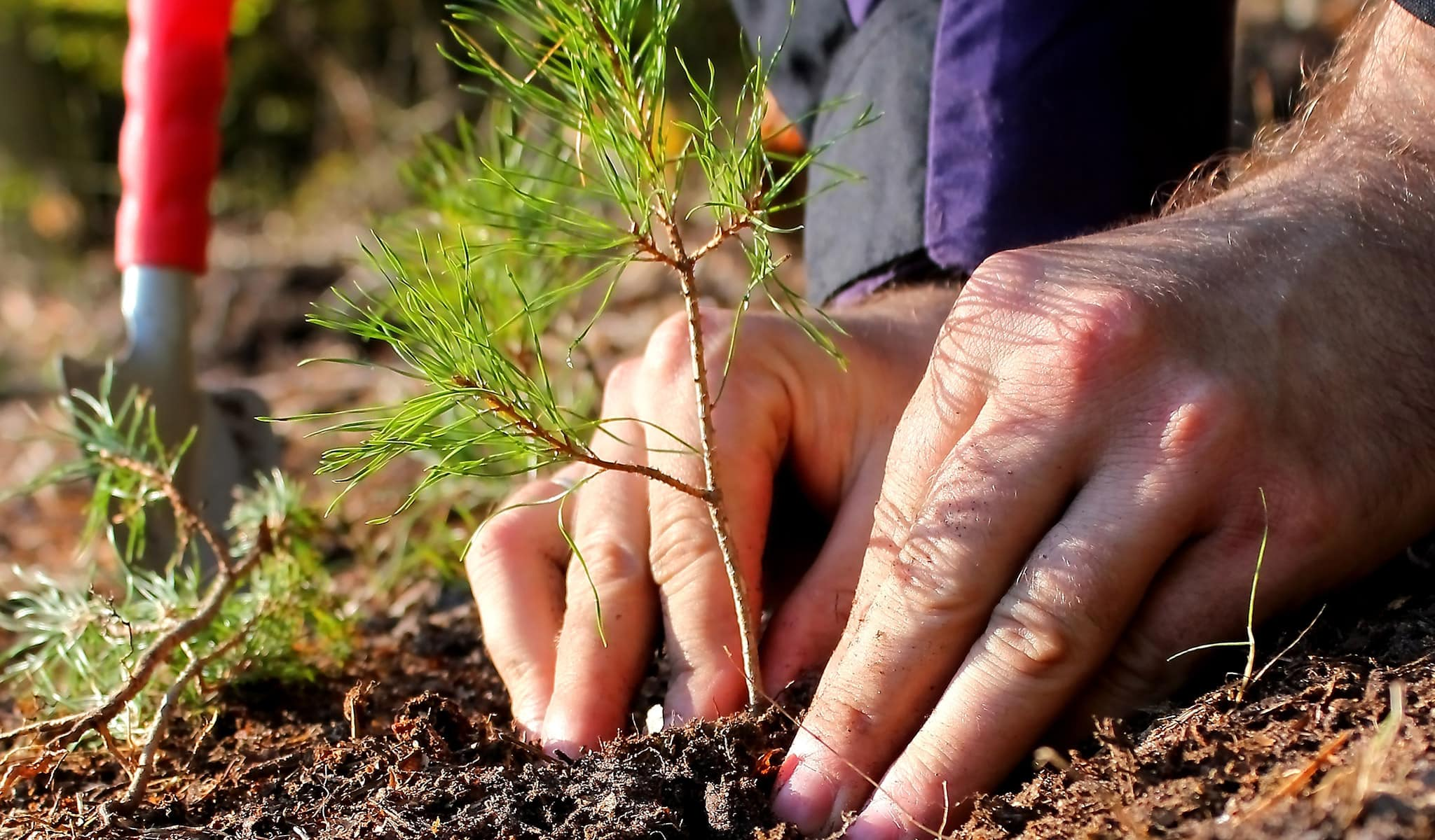 Arbor Services worker planting baby tree