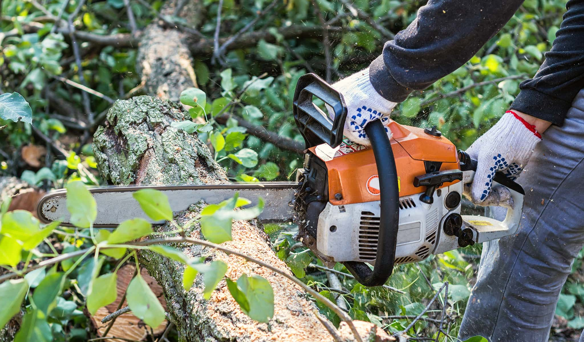 Arbor Services worker chainsawing tree for removal
