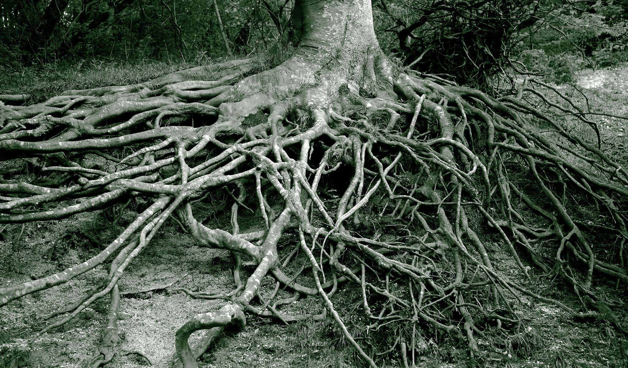 View of tree roots after air spading